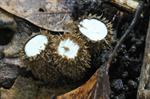 Fluted Bird's Nest (Cyathus striatus)